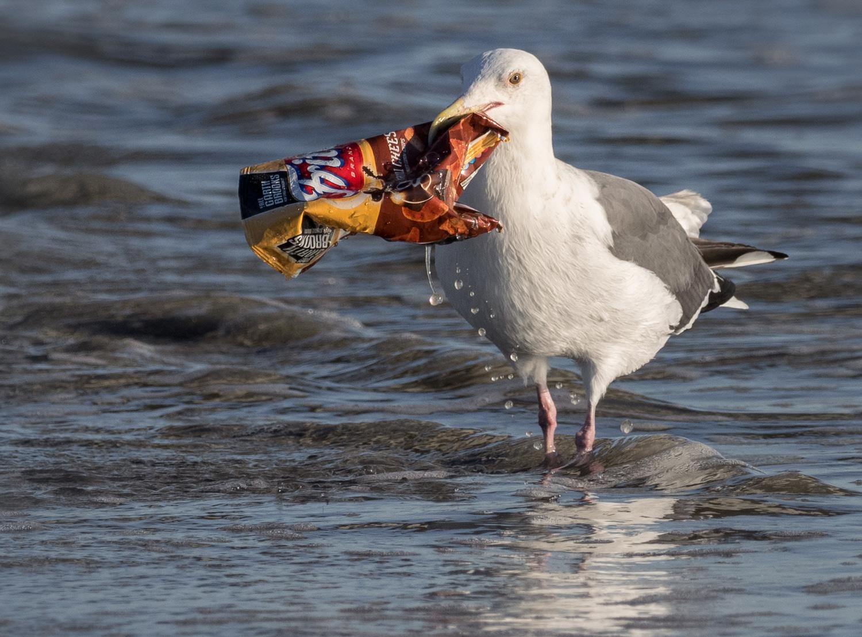 Goéland ayant un paquet en plastique dans le bec